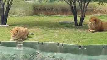 Touristen stacheln Löwin an – mit unschönen Folgen
