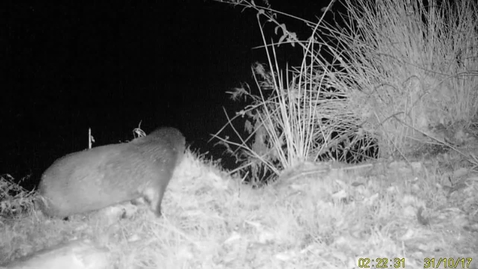 Thumbnail for entry First footage of otter in the Peak District