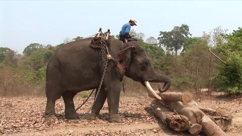 Thumbnail for entry Burmese working Elephants