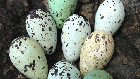 Thumbnail for entry Bempton guillemots and eggs with Tim Birkhead