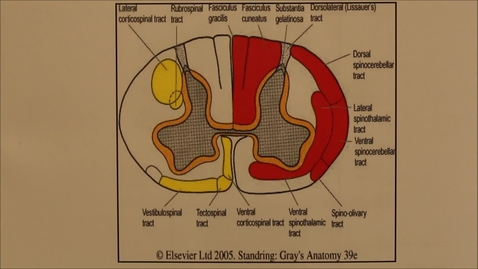 Thumbnail for entry 23-K motor pathways of the spinal cord