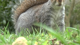 Thumbnail for entry On the tail of invasive grey squirrels
