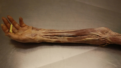 Thumbnail for entry 28-D flexor forearm