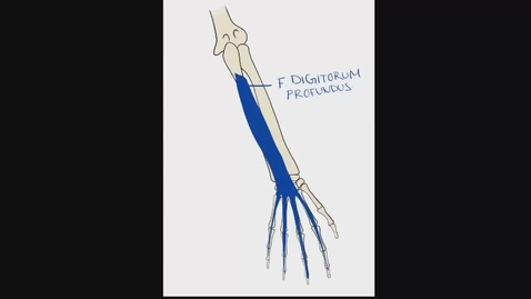Thumbnail for entry Anatomy of the Anterior Forearm