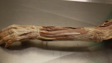 Thumbnail for entry 30-A forearm extensor compartment